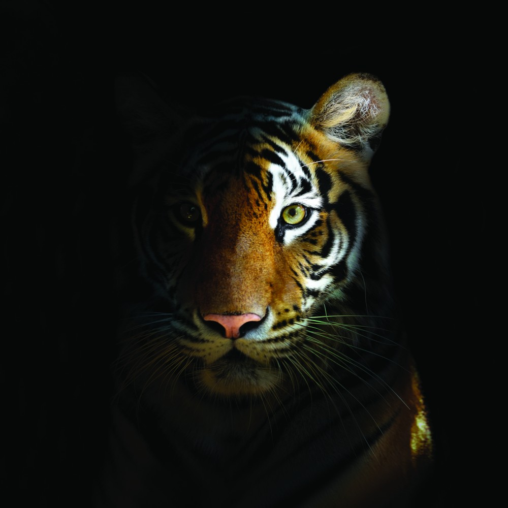 Dark Bengal Tiger