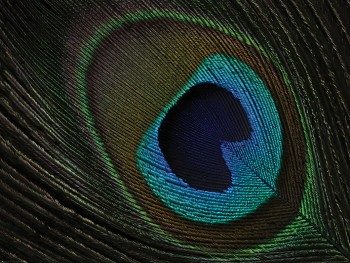 Alyson Fennell (Peacock Feather Eye)