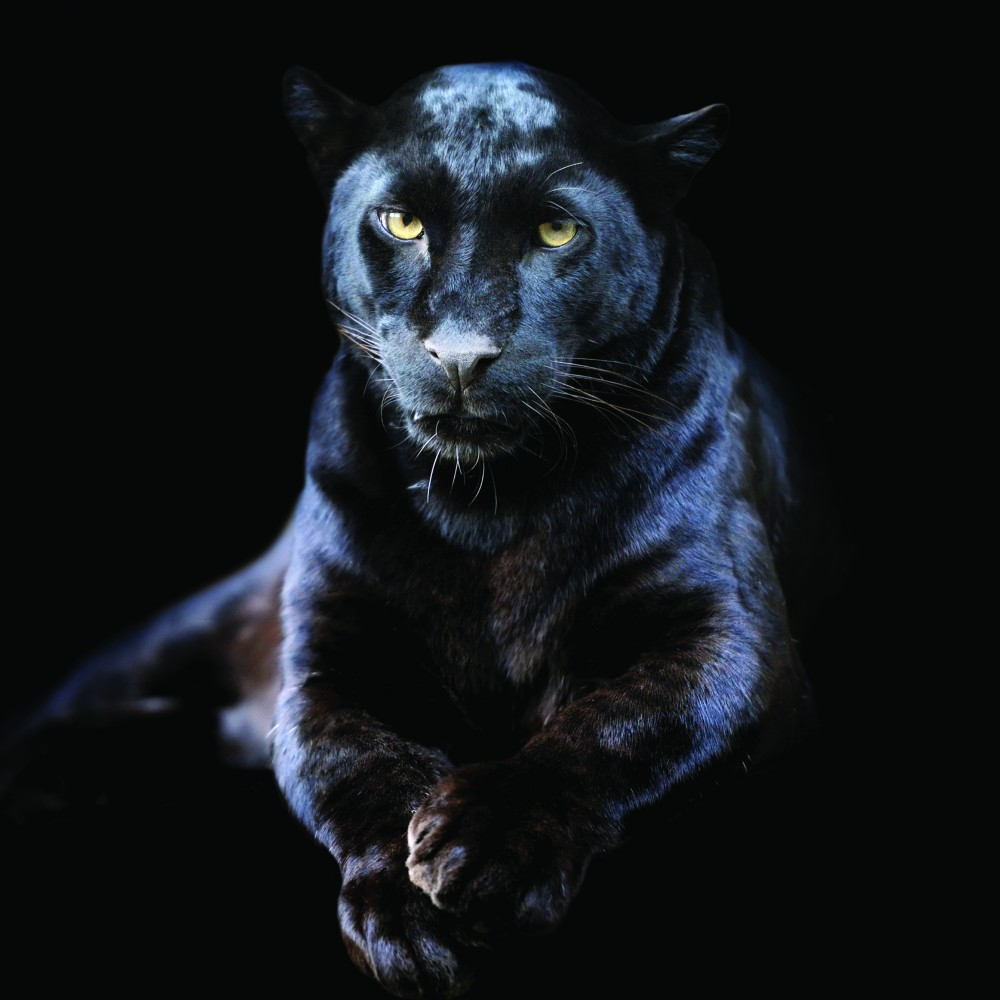 Dark Black Leopard
